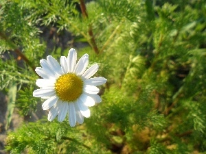chamomile, sunny, Colourfull Flowers