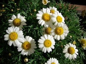 Colourfull Flowers, chamomile