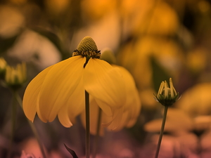Green-headed Coneflower, Colourfull Flowers, Yellow Honda