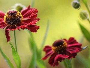 Colourfull Flowers, Helenium
