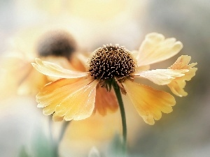Helenium, Yellow, Colourfull Flowers