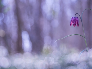 blur, Colourfull Flowers, Fritillaria meleagris