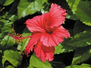 hibiscus, Red, Colourfull Flowers