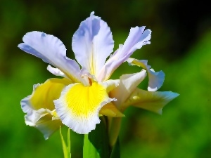 Colourfull Flowers, iris