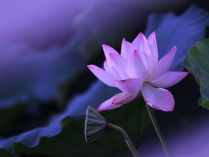 Leaf, lotus, Colourfull Flowers