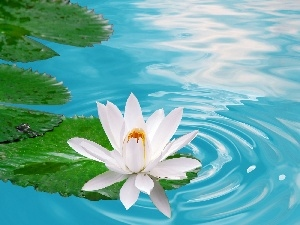 Colourfull Flowers, water-lily, water, Leaf, blue