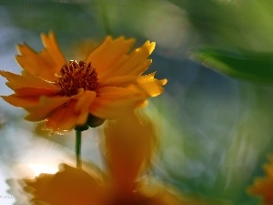 Coreopsis, Orange, Colourfull Flowers
