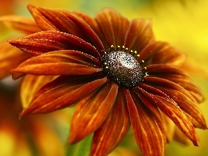 Colourfull Flowers, Rudbeckia