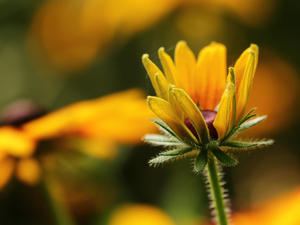 Rudbeckia, Yellow, Colourfull Flowers, bud