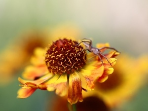 Spider, Helenium, Colourfull Flowers