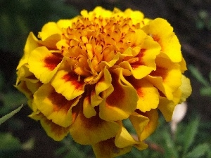 Colourfull Flowers, Tagetes