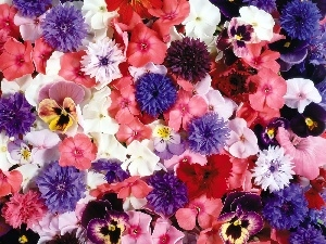 cornflowers, pansies, Flowers, phlox, color