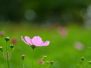 Cosmos, Pink, Flower