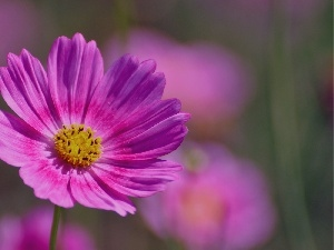 Cosmos, Flowers, Pink