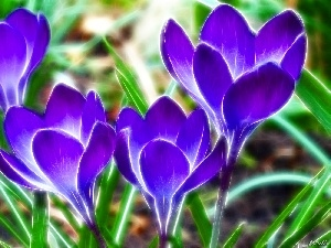 graphics, crocus