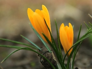 Yellow, crocus