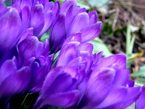 crocuses, nature, Flowers