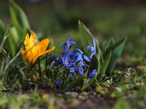 Flowers, Siberian squill, crocuses