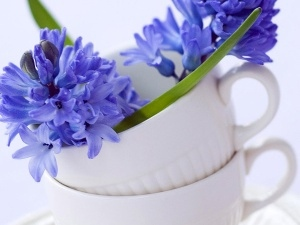cups, Hyacinths, Two