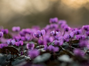 Cyclamen, purple, Flowers