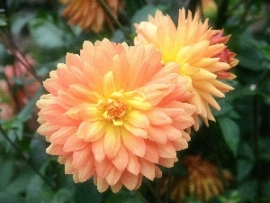 developed, dahlias