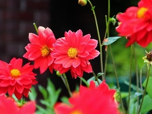 Red, dahlias