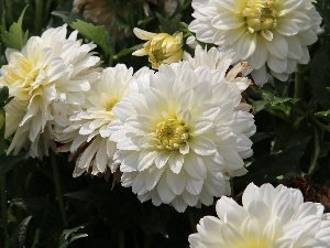 White, dahlias