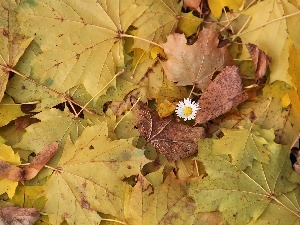Autumn, Leaf, daisy, dry