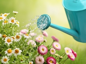 Flowers, Chamomile Common, daisy, watering can