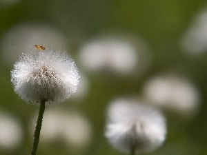 blurry background, Common Coltsfoot, dandelion