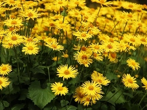 Doronicum, Yellow, Flowers