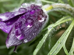 drops, Violet, pasque
