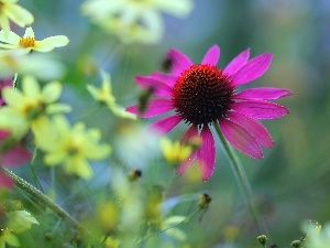 Colourfull Flowers, Pink, echinacea