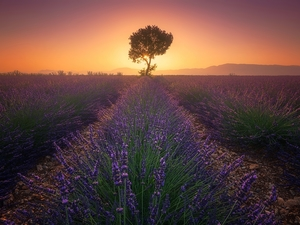 Great Sunsets, Provence, lavender, Valensole, France, Field, trees