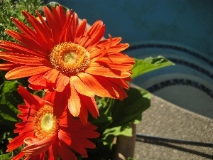 flakes, Orange, gerberas