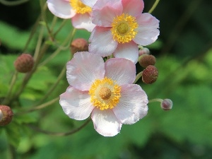 Japanese anemone, Pink, Flowers