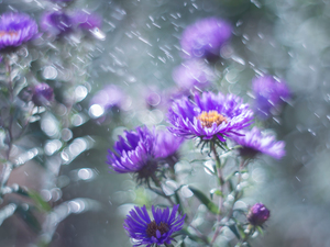 Flowers, purple, Aster
