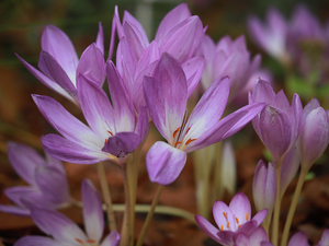 lilac, Flowers, Autumn, crocuses, colchicums