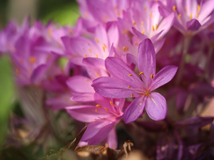 Pink, Flowers, Autumn, crocuses, colchicums