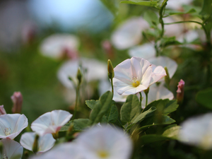 Flowers, bindweed