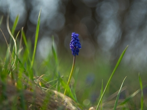 Colourfull Flowers, blades, grass, Muscari
