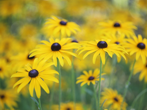 Rudbeckia, Flowers, blurry background, Yellow