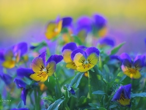 Flowers, pansies, color