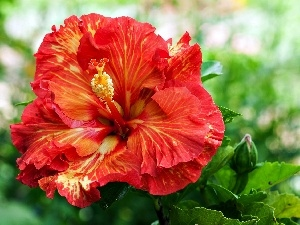 hibiskus, Colourfull Flowers