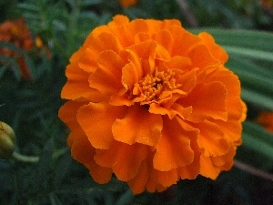 Orange, Colourfull Flowers