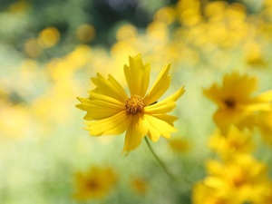 Coreopsis, Yellow, Colourfull Flowers