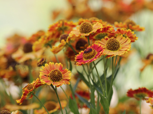 developed, Helenium Hybridum, Flowers