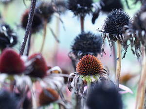 echinacea, fades, Flowers, withered