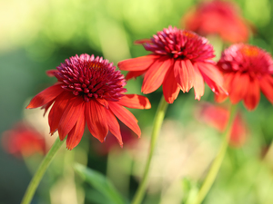 Flowers, Red, echinacea