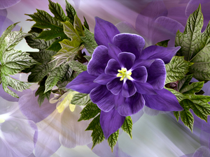 columbine, Leaf, Colourfull Flowers, Violet, graphics